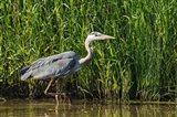 Oregon, Baskett Slough, Great Blue Heron bird