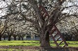 A Ladder In An Orchard Tree, Oregon