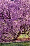 Tree In Bloom, Pennsylvania