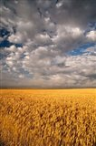 Summer Morning Wheat Fields, South Dakota