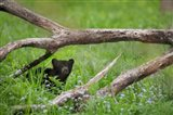 Black Bear Cub Under Branches