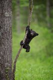 Black Bear Cub Playing On A Tree Limb