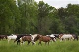 Herd Of Horses In Cade's Cove Pasture