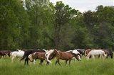 Herd Of Horses In Cade's Cove Pasture