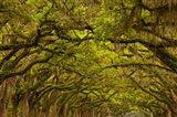 Oaks Covered In Spanish Moss, Savannah, Georgia