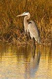 Great Blue Heron standing in Salt Marsh
