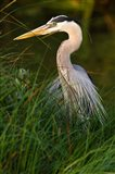 Great Blue Heron, stalking prey in wetland, Texas
