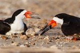 Black Skimmers And Chick
