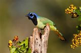 Green Jay Perched