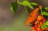 Gulf Fritillary Butterfly On Flowers