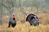 Rio Grande Wild Turkeys