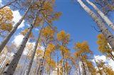 Autumn Aspen Trees In The Fishlake National Forest, Utah