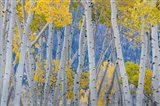 Aspen Trees In Autumn At Fishlake National Forest, Utah