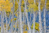 Aspen Trees In Autumn, Utah