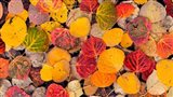 Autumn Aspen Leaves In A Pool