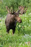 Bull Moose In Wildflowers, Utah