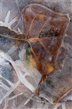 Frozen Aspen Leaf In A Stream
