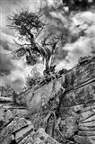 Desert Juniper Tree Growing Out Of A Canyon Wall, Utah (BS)
