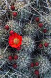 Claret Cup Cactus With Buds