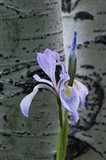 Wild Iris With Bud In Early Spring