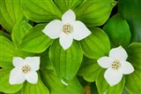 Bunchberry in Bloom on Monadnock Mountain, Lemington, Vermont
