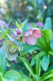 Virginia, Williamsburg, Hellebore