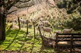 Sheep And Spring Lambs