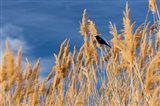 Red-Winged Blackbird On Ravenna Grass