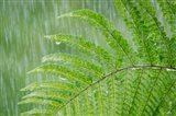Fern In Rainfall