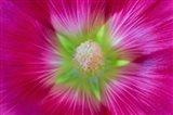 Close-Up Of A Hollyhock Blossom