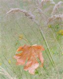 Maple Leaf In Meadow Grasses