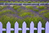 Field Of Lavender With A  Picket Fence, Washington State