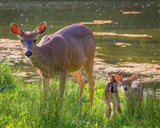 Blacktail Deer With Twin Fawns