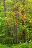 Washington State, Gifford Pinchot National Forest Big Leaf Maple Tree Scenic