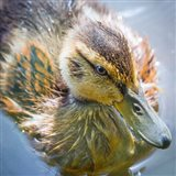Close-Up Of A Mallard Duck Chick