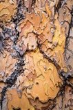 Ponderosa Pine Tree Bark Detail