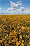 Coneflower Field, Washington State