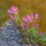 Pink Penstemon Flowers, Washington State