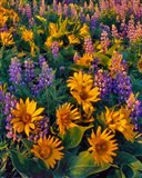 Balsamroot And Lupine In Evening Light