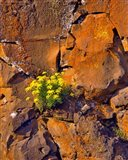 Lomatium Flowers On Basalt Rocks