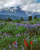 Lupine And Paintbrush In Meadow, Mount Rainder Nationak Park