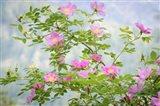 Wood's Rose Flowers