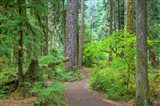 Trail Through An Old Growth Forest, Washington State