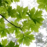 Big Leaf Maples In Summer