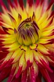 Detail Of A Vibrant Dahlia Flower