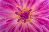 Bright Pink Dahlia Blossom Detail