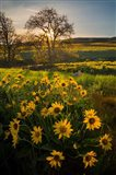 Arrowleaf Balsamroot Wildflowers At Columbia Hills State Park