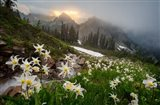 Avalanche Lilies Along A Small Stream Below Plummer Peak