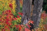 Yellow Birch Tree Trunks and Fall Foliage, White Mountain National Forest, New Hampshire