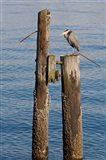 Great Blue Heron bird, Elliott Bay